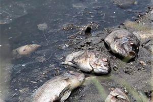 Quảng Ngãi: Cá chết nổi trắng hồ không rõ nguyên nhân