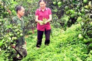 Dân 'sống khỏe' nhờ rau, quả không bón phân, thuốc sâu hóa học