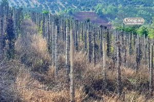 Thiên tai gây thiệt hại lớn trên cây hồ tiêu