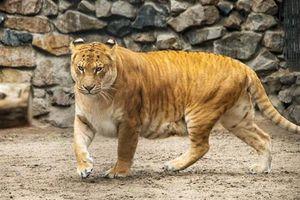 Sự thật xót xa phía sau quái vật lai sư tử và hổ