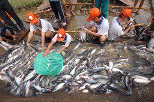 Giá cá tra 'ảm đạm', người nuôi lỗ nặng