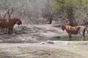 Hổ mẹ dìm con mình xuống nước để tránh kẻ thù