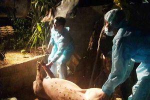 Xuất hiện ổ dịch tả lợn châu Phi đầu tiên ở Quảng Bình