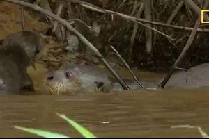 Clip: Cá sấu 'bất lực' bỏ đi sau khi ngang nhiên xâm nhập lãnh địa của đàn rái cá