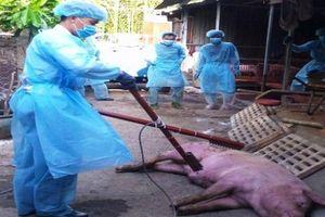 Quảng Ngãi: Dịch tả lợn châu Phi đã tới sâu trong vùng núi ở Quảng Ngãi