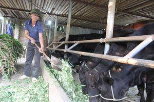 Phát triển chăn nuôi bò chất lượng cao