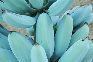 Trái chuối xanh da trời chỉ có trong cổ tích giá hơn 2 triệu mỗi nải