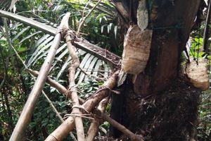 Lấy rượu đoác trên cây, người đàn ông nghèo ở Quảng Trị tử vong