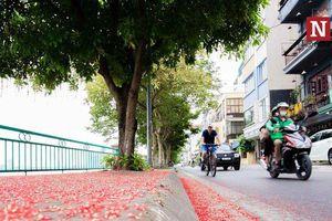 Chùm ảnh: Hoa lộc vừng nở rộ nhuộm đỏ cung đường hồ Tây