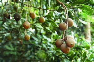 Có gì đặc biệt trong vườn mắc ca giống bạc tỷ ở Đắk Lắk?