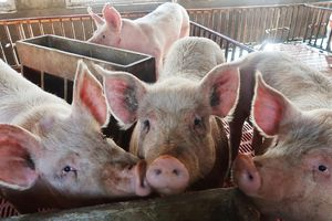 Nhà kinh tế ngân hàng UBS lao đao vì nói 'con lợn Trung Quốc'