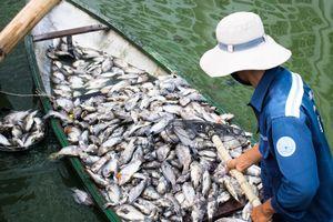 'Lá phổi xanh' của Đà Nẵng ô nhiễm, cá chết hàng loạt