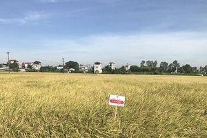 Giống lúa LY2099 - manh nha hình thành chuỗi sản xuất lúa gạo tự nguyện