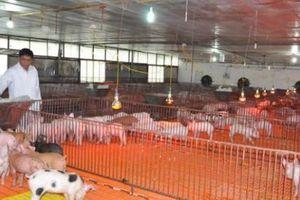 Trang trại lợn khổng lồ 'nói không' với dịch tả lợn châu Phi