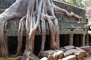 Rễ cổ thụ vươn dài như trăn, đe dọa nuốt chửng ngôi đền Campuchia