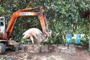 Tỉnh thứ 12 của Đồng bằng sông Cửu Long có bệnh dịch tả lợn châu Phi