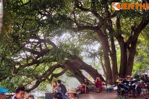 Sự thật ngỡ ngàng cây lộc vừng 9 gốc huyền thoại bên Hồ Gươm