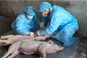 Triển khai nhiều biện pháp phòng, chống dịch tả lợn châu Phi
