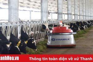 Chăn nuôi bò sữa: Bước đột phá của ngành chăn nuôi