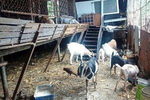 Chăn nuôi gây ô nhiễm môi trường khu dân cư: Khó xử lý triệt để!