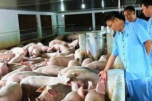 Bệnh dịch tả lợn châu Phi vẫn diễn biến phức tạp