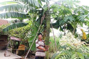 Được bạn tặng cây chuối, người đàn ông bất ngờ khi cây cho buồng khủng dài 2m với 118 nải