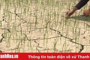 Nắng nóng khiến lúa 500 ha lúa thu mùa khô hạn