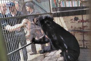 Cứu hộ khẩn cá thể gấu ngựa tại Lạng Sơn