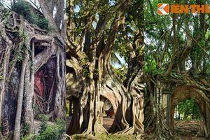 Kỳ lạ loạt cổ thụ mọc trên phế tích cổ ở Việt Nam
