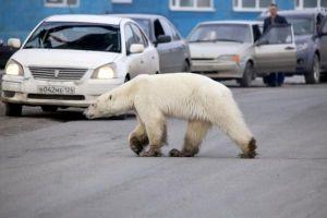 Gấu đi lạc vài trăm cây số, xuất hiện giữa thành phố