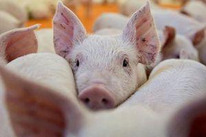 Thủ tướng yêu cầu hỗ trợ người dân giữ lợn giống