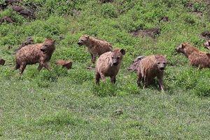 Clip: Đại chiến giành thức ăn giữa 30 con linh cẩu và 3 chú sư tử