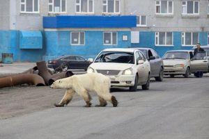 Gấu Bắc cực đói lả và kiệt sức đi lang thang trong thành phố Nga