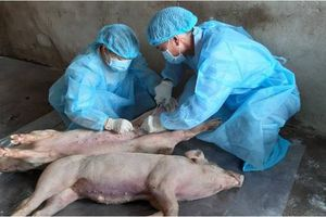 Chống bệnh dịch tả lợn Châu Phi: Không để xảy ra tình trạng trục lợi chính sách