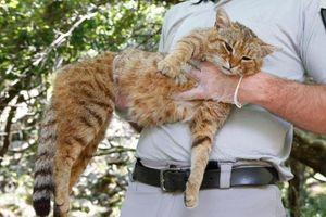 Phát hiện giống 'mèo cáo' hoàn toàn mới trên hòn đảo ở Pháp