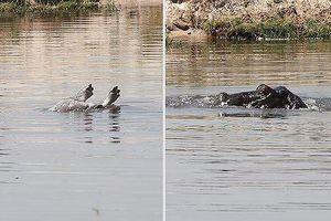 Hà mã mẹ đuổi bầy cá sấu sông Nile để bảo vệ xác con
