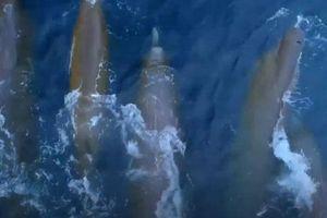 Thích thú với hình ảnh khó thấy của cá voi mõm khoằm cực hiếm lướt trên mặt nước