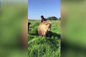 Video người đàn ông thản nhiên gãi lưng sư tử đực như không