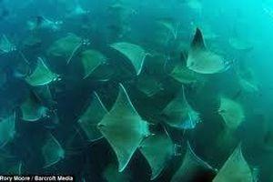 Cảnh tượng ngoạn mục: Đàn cá đuối hàng nghìn con bơi lội giữa đại dương