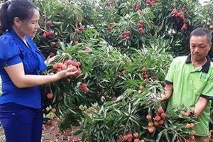 Thay đổi tư duy sản xuất: Vải thiều Bắc Giang thắng lớn