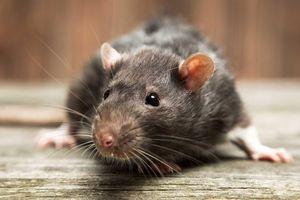 Thảm họa chuột to như mèo đang tàn phá thị trấn ở New Zealand