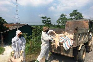 Dịch tả lợn châu Phi lây lan tất cả các huyện, thị tại Phú Thọ