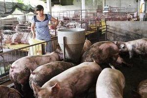 Đề nghị Chính phủ hỗ trợ chống dịch đối với đàn lợn mục tiêu là 500.000 đồng/con