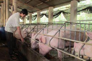 Hà Nội: Nhiều nơi không phát sinh bệnh dịch tả lợn châu Phi