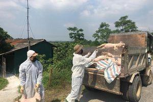 Toàn tỉnh Phú Thọ có dịch tả lợn châu Phi