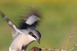 'Chim đồ tể' chuyên găm con mồi vào gai nhọn