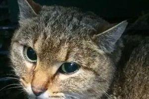 Phát hiện loài 'mèo cáo' hoàn toàn mới ở Pháp
