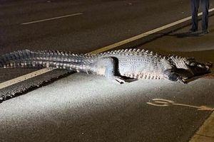 Cá sấu khổng lồ dài 3,6 mét làm náo loạn đường cao tốc
