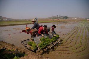 Hàn Quốc hỗ trợ 50.000 tấn gạo cho người dân Triều Tiên