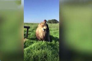 'Lạnh gáy' xem cảnh người đàn ông vô tư gãi lưng sư tử khổng lồ